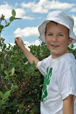 competitive blueberry picker